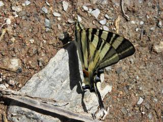 A coda di rondine farfalla, iphiclidespodali Foto Gratuite