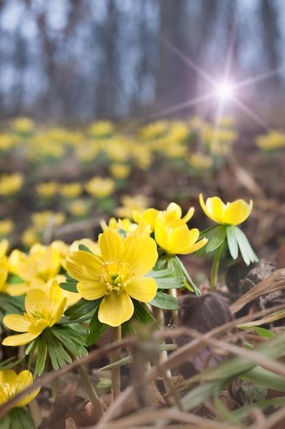 Aconiti gialli nella foresta di primavera Foto Premium