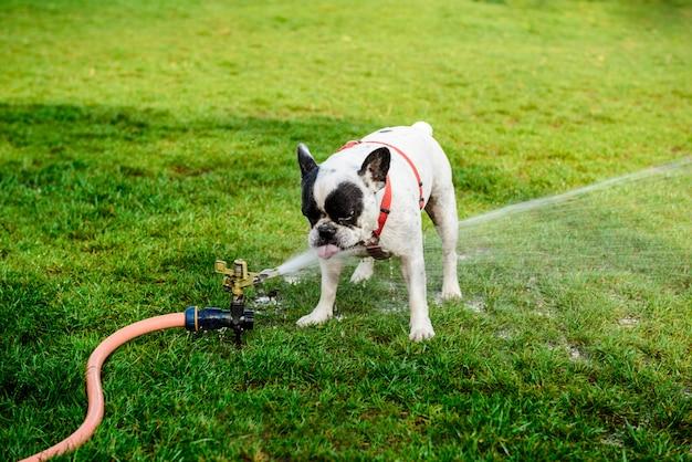 Acqua potabile del bulldog francese dal tubo flessibile in parco Foto Gratuite