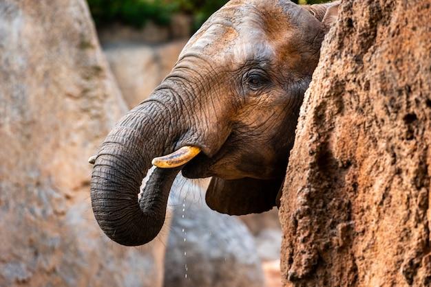 Acqua potabile dell'elefante africano da un fiume. Foto Premium