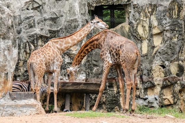Acqua potabile della giraffa (nel selvaggio) in vassoio di legno per fondo o struttura animale. Foto Premium