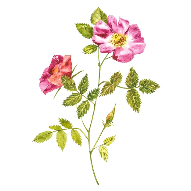 Acquerello di fiori di rosa selvatica botanica. insieme dell'acquerello dei fiori e delle foglie del cinorrodonte, illustrazione floreale disegnata a mano isolata Foto Premium