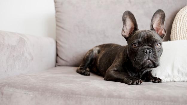Adorabile simpatico bulldog francese Foto Gratuite