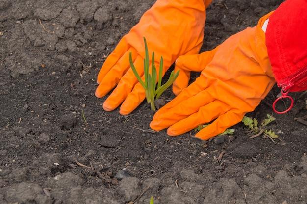 Aglio della giovane pianta nelle mani di un agronomo che indossa i guanti. Foto Premium