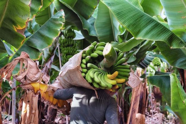 Agricoltore che trasporta mazzo di banane verdi in fattoria Foto Premium