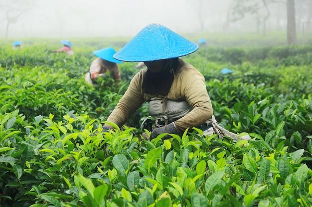 Agricoltori che raccolgono il tè Foto Premium