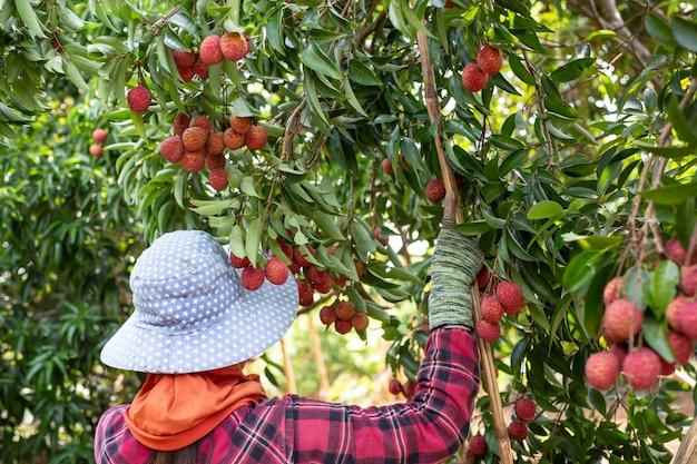 Agricoltura della frutta del lychee in tailandia Foto Gratuite