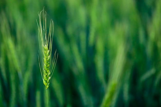 Agricoltura indiana, campo di frumento india. Foto Premium