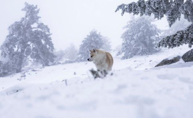 Akita inu nella neve Foto Premium
