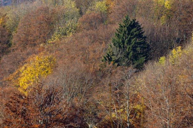 Alberi asciutti e un singolo abete verde nella montagna medvednica a zagabria, croazia Foto Gratuite