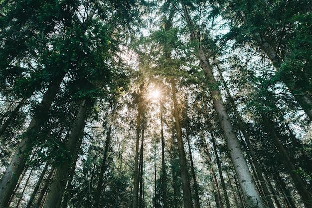 Alberi della foresta del sole Foto Premium