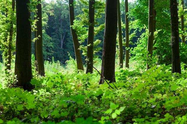 Alberi forestali sfondi di natura verde legno del sole Foto Premium