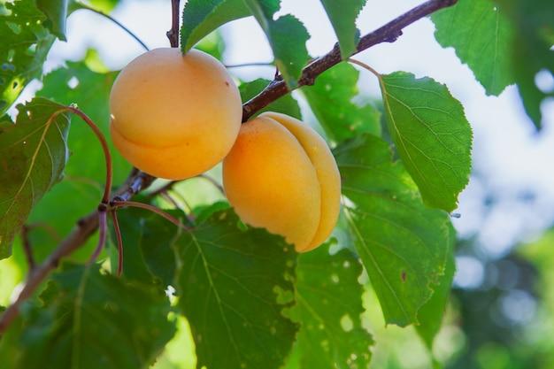 Albero da frutto dell'albicocca con foglie. vista laterale. Foto Gratuite