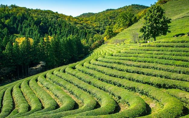 Albero da solo e bella azienda agricola del tè di beseong della pianta, corea del sud. Foto Premium
