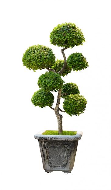 Albero dei bonsai, albero nano isolato su bianco Foto Premium