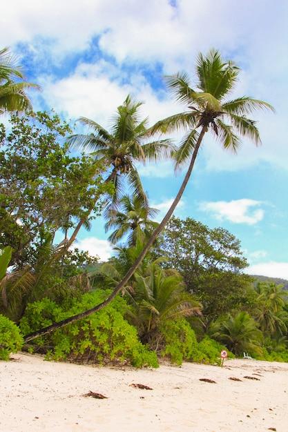 Albero del cocco sulla spiaggia sabbiosa in seyshelles Foto Premium