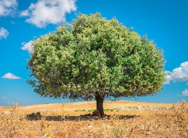 Albero di argan al sole, marocco Foto Premium