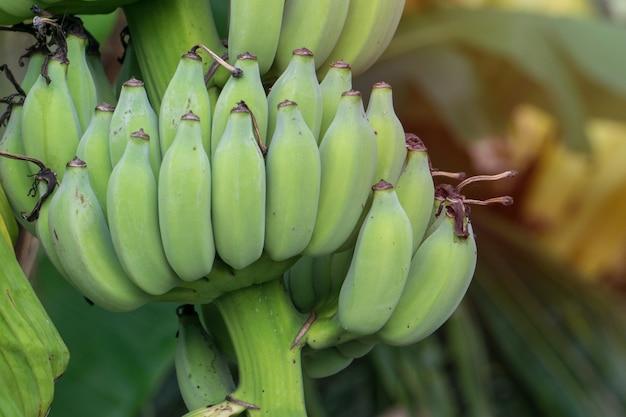 Albero di banane con grappolo di banane Foto Premium