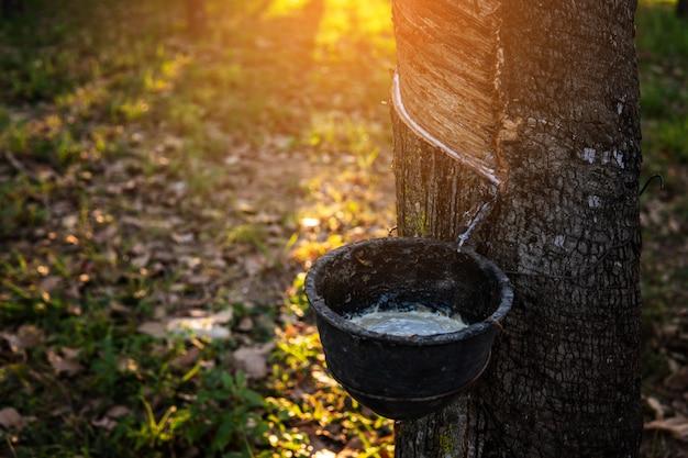 Albero di gomma del lattice di toccatura del giardiniere. lattice di gomma estratto dall'albero della gomma. Foto Premium