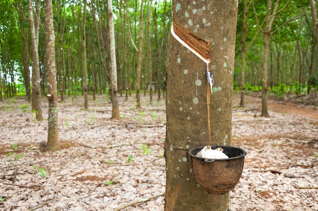 Albero di gomma e ciotola riempita di lattice. sgocciolatura naturale del lattice da un albero di gomma ad una piantagione di alberi della gomma Foto Premium