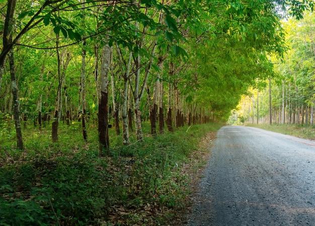 Albero di gomma para, piantagione di gomma in lattice e gomma per alberi Foto Premium