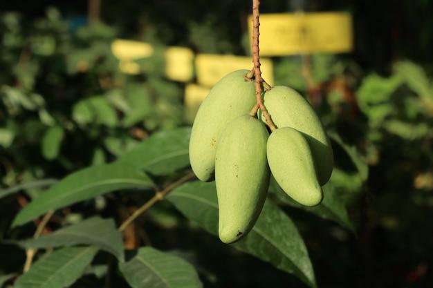 Albero di mango organico verde Foto Premium