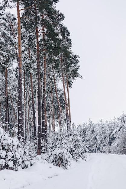 Albero di pino nella copertura di neve bianca attraverso la foresta di inverno Foto Premium