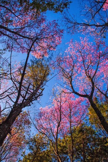 Albero di prunus cerasoidess sakura. chiangmai thailandia Foto Premium
