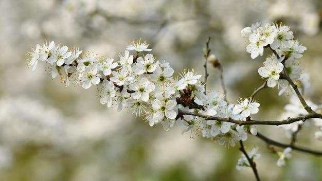 Albero in fiore sfondo della natura in una giornata di sole. fiori di primavera. bellissimo frutteto e astratto sfocato Foto Gratuite