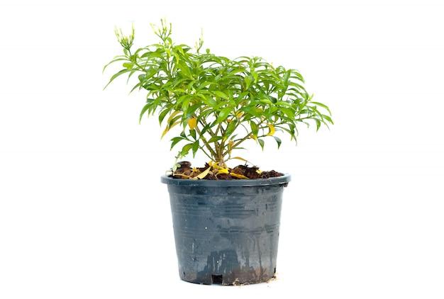 Albero in un vaso nero su sfondo bianco Foto Premium