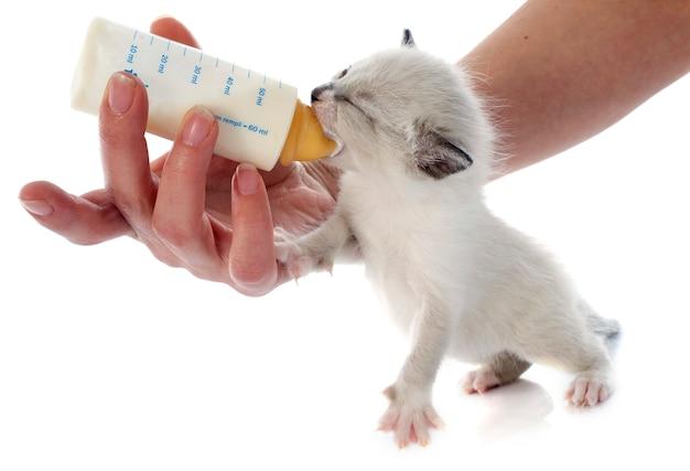 Alimentazione gattino siamese Foto Premium