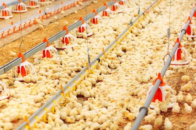 Allevamento di polli al chiuso, alimentazione per polli Foto Premium