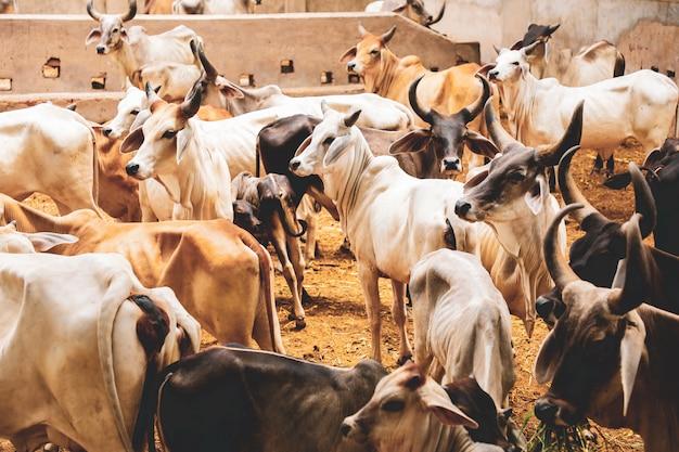 Allevamento indiano, bovini indiani Foto Premium