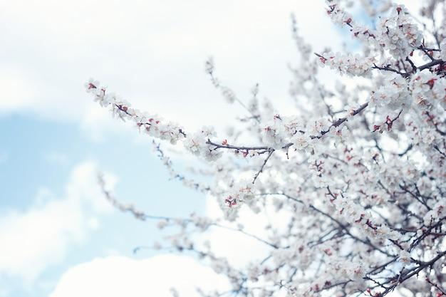 Alto vicino del fiore dell'albicocca fiore dell'albero di albicocca, fondo floreale stagionale della natura Foto Premium