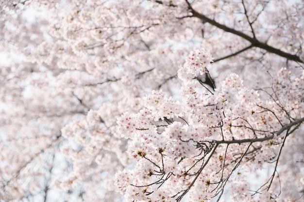 Alto vicino dell'albero di sakura Foto Gratuite