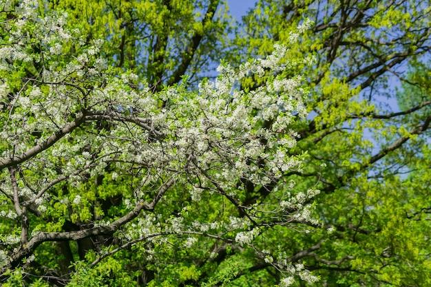 Alto vicino di fioritura del ciliegio. fogliame di primavera. Foto Premium