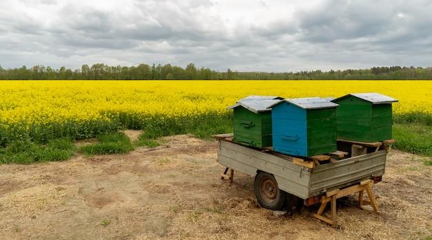 Alveari mobili nel mezzo di un campo di colza Foto Premium