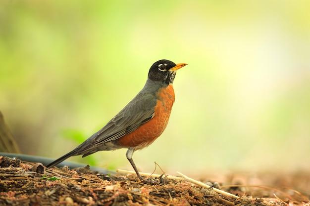 American robin in primavera Foto Premium