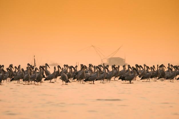 Anastomus oscitans grande uccello guadante nella famiglia della cicogna - uccelli asiatici della cicogna del openbill nel lago Foto Premium