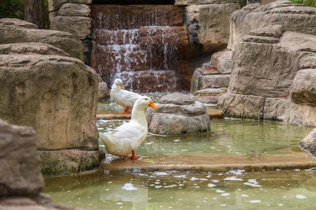 Anatre domestiche bianche sono nello stagno Foto Premium