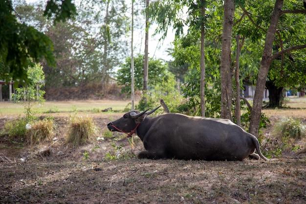 Animale domestico della buffalo che sta sul parco per la vita del righello dell'agricoltore. bufalo Foto Premium