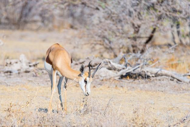 Antilope saltante che pasce nel cespuglio. Foto Premium