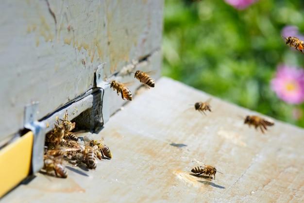 Ape da miele all'ingresso di un alveare in legno. Foto Premium