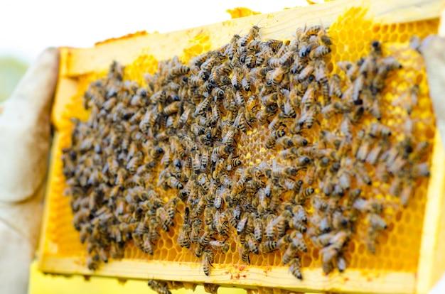 Apicoltore che tiene un favo pieno di api Foto Premium