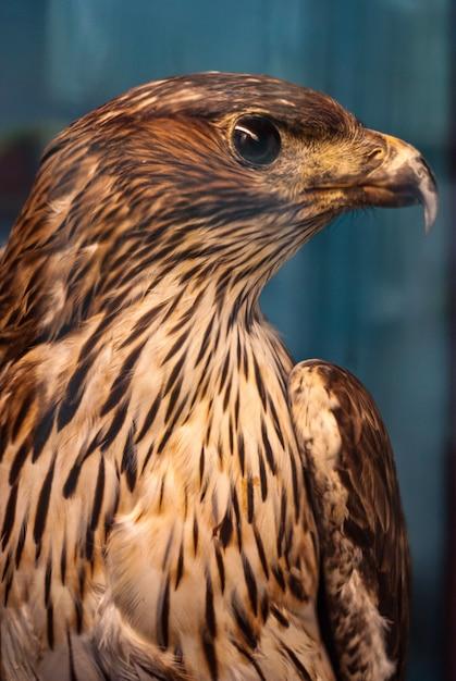 Aquila ritratto Foto Premium