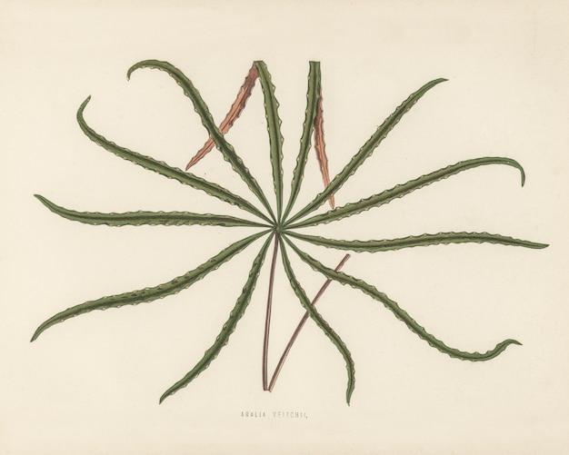 Aralia veitchii incisa da benjamin fawcett Foto Gratuite