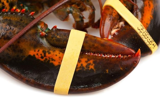 Artigli di aragosta vivente Foto Premium