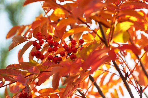 Ashberry rosso in autunno con foglie gialle al tramonto. Foto Premium