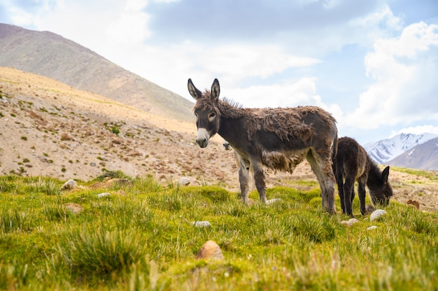 Asini della fauna selvatica sulla montagna Foto Premium