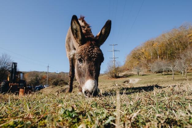 Asino che mangia erba all'aperto, primo piano Foto Premium